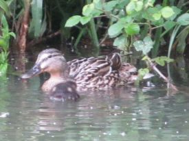 Mother duck with duckling