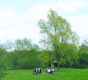 The birth of the concrete cows