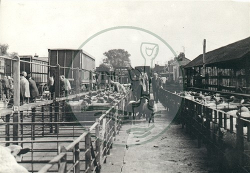 Cattle Market in Bletchley, possibly 1960s. Illustrative photograph supplied by kind permission of BCHI (Accession Ref. BLE/P/238). Original donated by Living Archive.