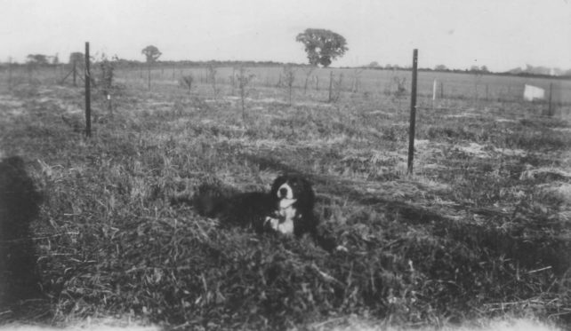 Sheepdog in a field