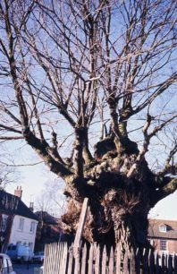 Wesley Tree with fencing